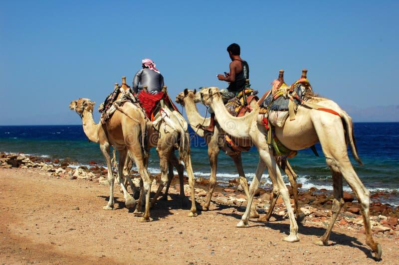 Safari de chameau photographie stock