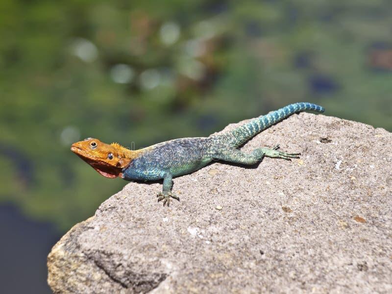 Safari de Kenia del lagarto foto de archivo