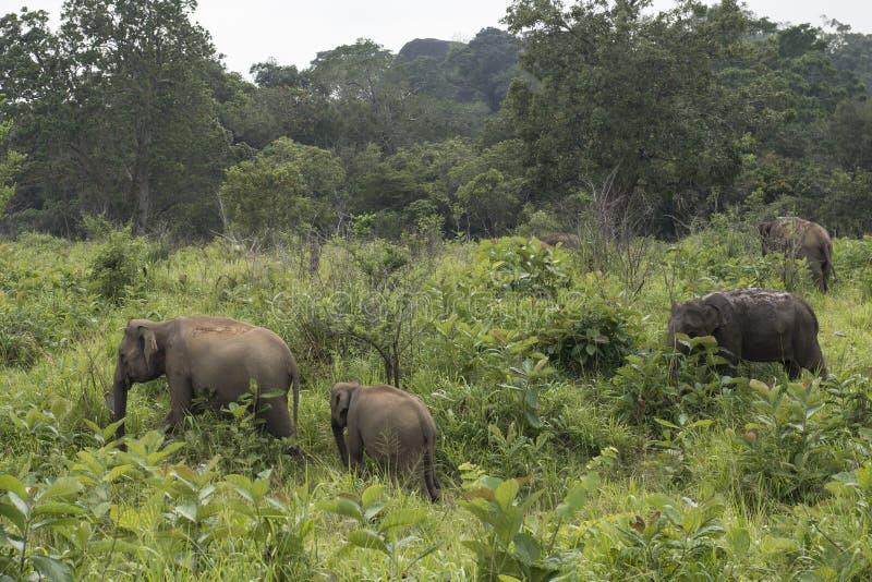 Safari de los elefantes en Polonnaruwa, Sri Lanka foto de archivo