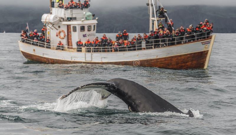 Safari de observation de baleine avec des baleines de bosse chez l'Islande image libre de droits