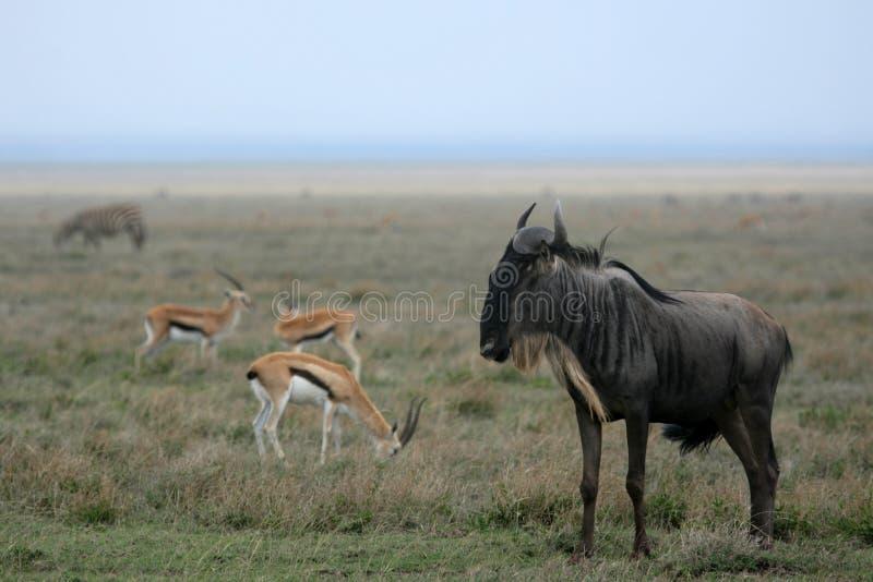 Safari de Wilderbeast - de Serengeti, Tanzânia, África imagem de stock royalty free
