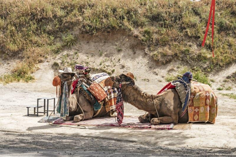 Safari del camello para los turistas en Cappadocia Paseos de los camellos alrededor de los valles hermosos y de las formaciones d imagen de archivo libre de regalías