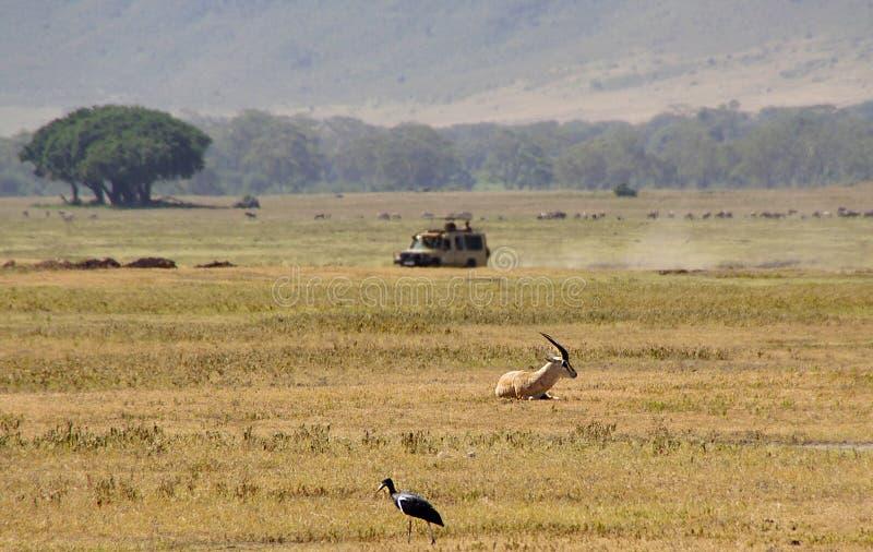 Safari del jeep en Ngorongoro fotografía de archivo libre de regalías