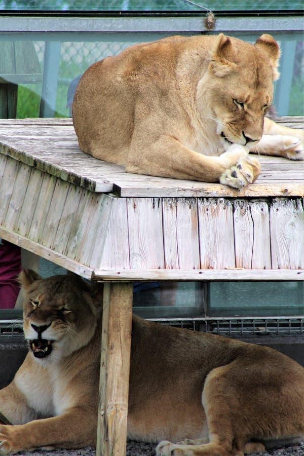 Safari del parque de Parc, Hemmingford, Quebec, Canadá imagen de archivo