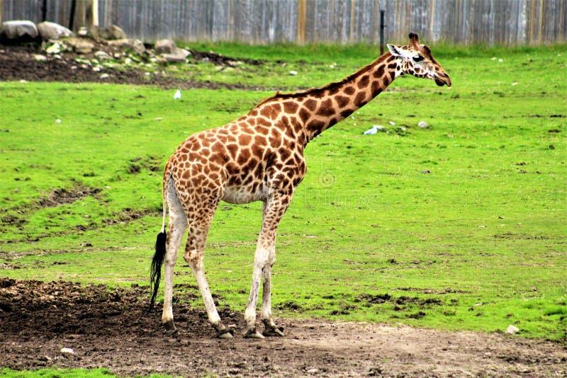 Safari del parque de Parc, Hemmingford, Quebec, Canadá foto de archivo libre de regalías