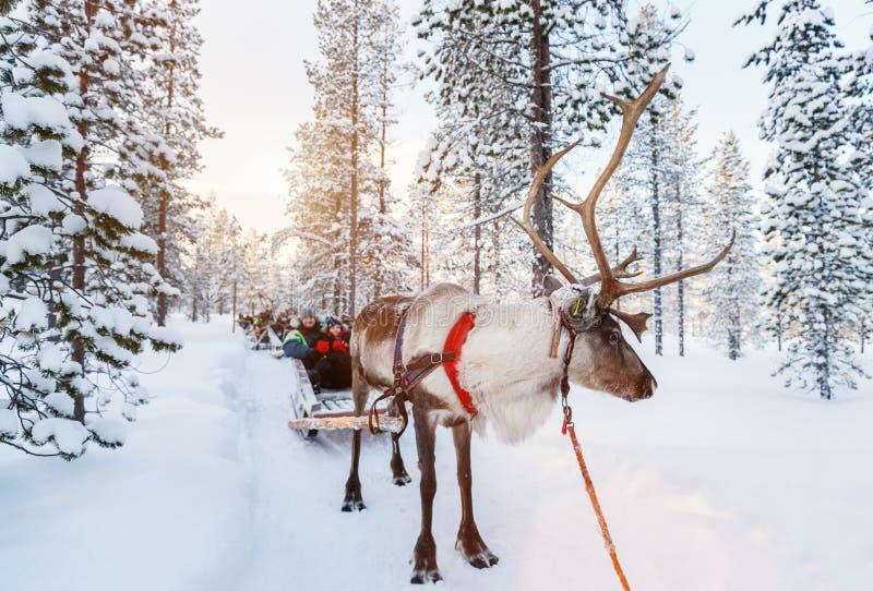 Safari del reno fotografía de archivo libre de regalías