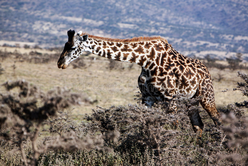 Safari dell'Africa - giraffa fotografia stock libera da diritti