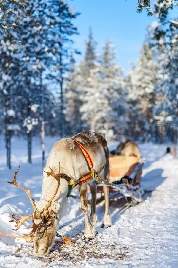 Safari della renna immagini stock