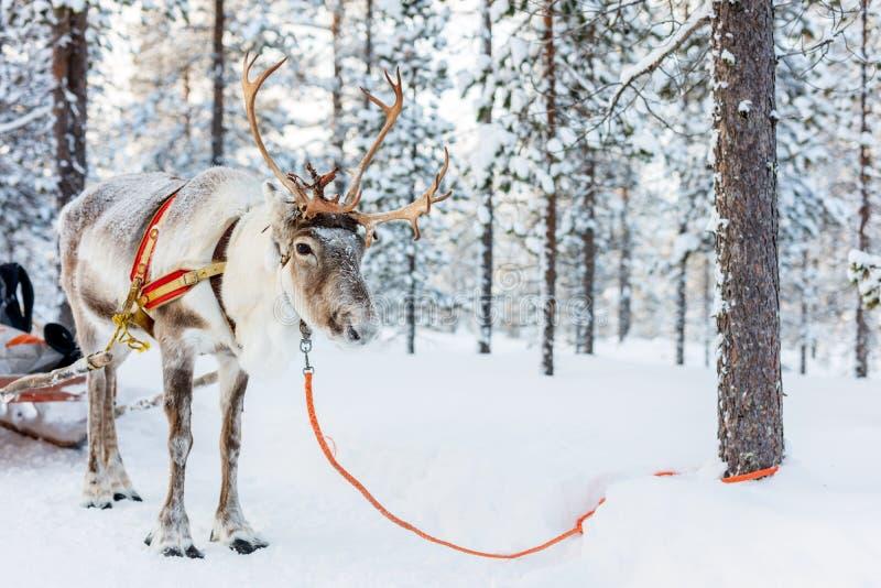 Safari della renna fotografia stock libera da diritti