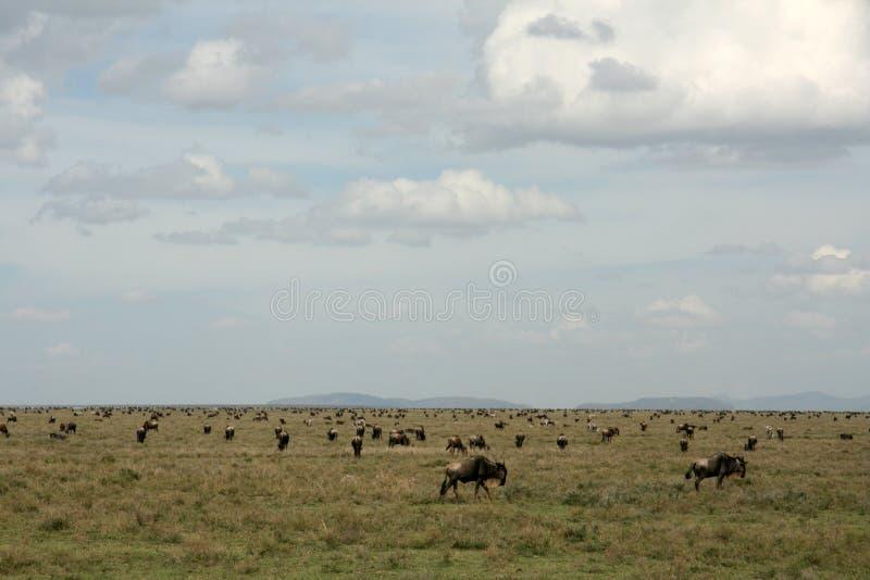 Safari di Serengeti - di Wilderbeast, Tanzania, Africa immagini stock