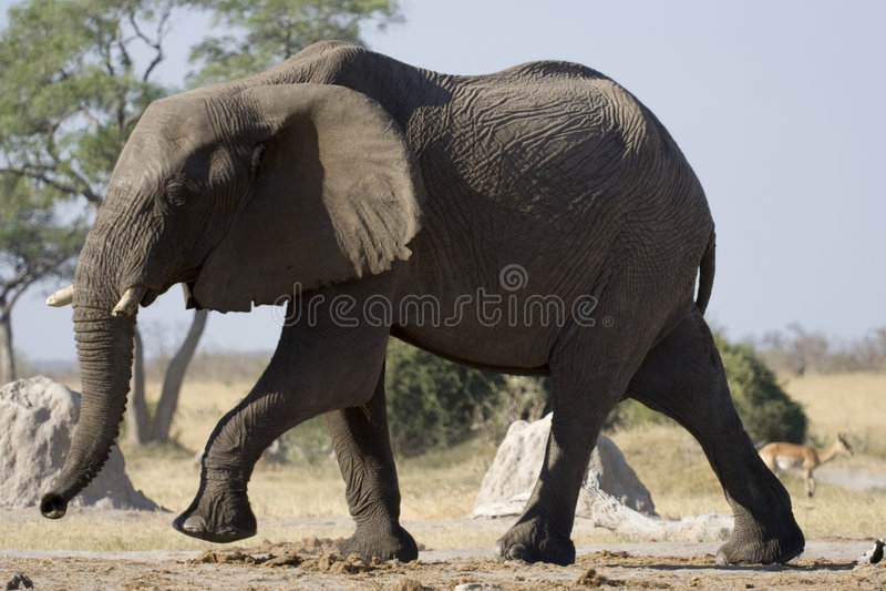 Safari do elefante fotos de stock royalty free