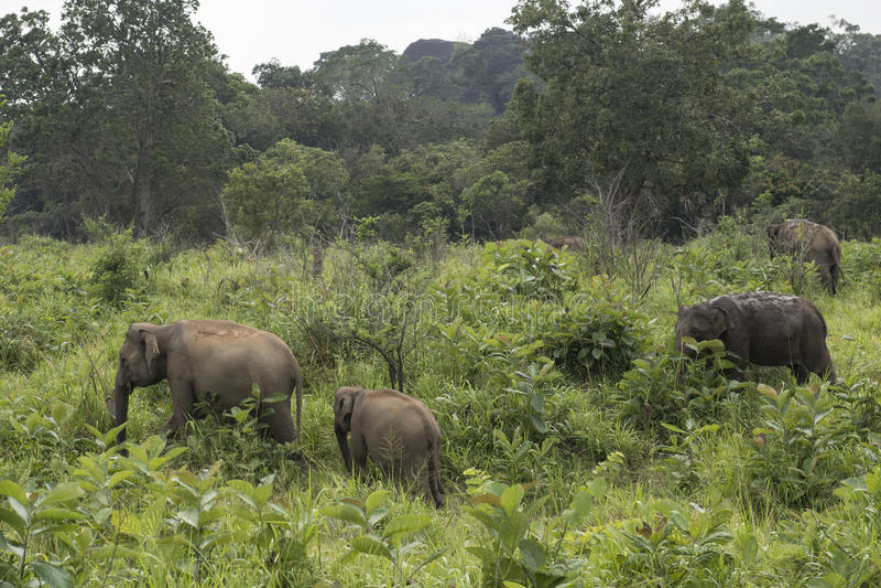 Safari dos elefantes em Polonnaruwa, Sri Lanka foto de stock