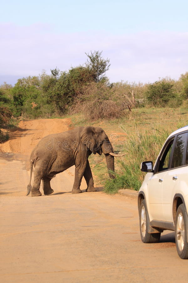 Download Safari drive elephant stock photo. Image of huge, hluhluwe - 61289788