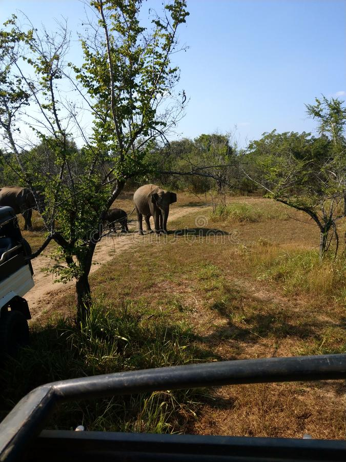 Safari elephants ride royalty free stock image