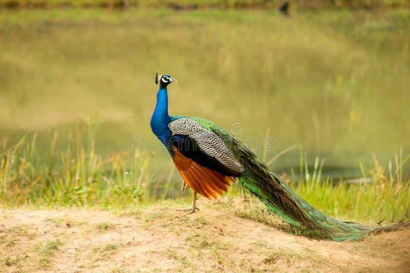 Safari em Jalla peacock fotos de stock