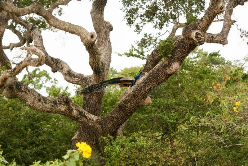 Safari em Jalla peacock imagens de stock royalty free
