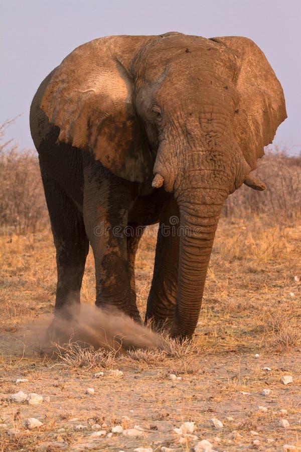 Safari Etosha immagine stock