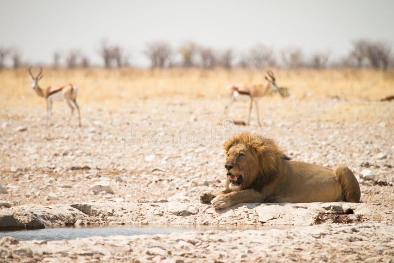 Safari Etosha fotografie stock
