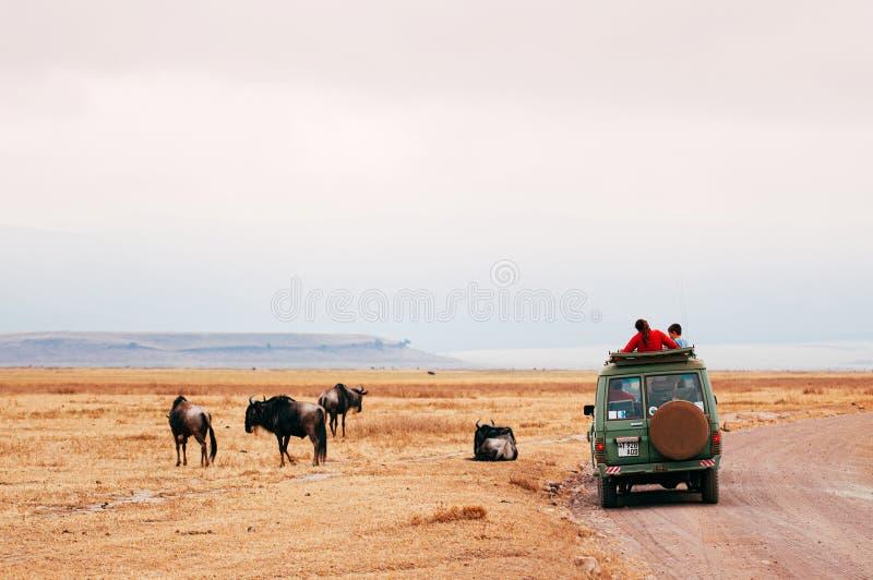 Safari hors route et troupeau de saules dans le champ d'herbe dorée à Ngorongoro, Serengeti Tanzanie Forêt de Savanna photos libres de droits