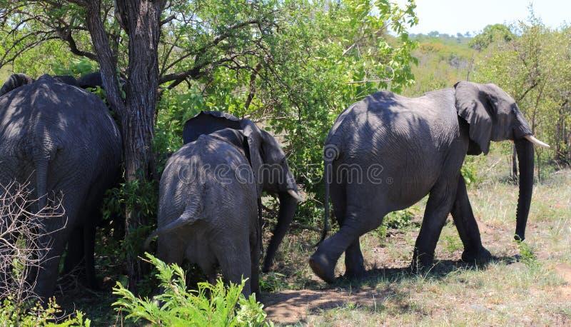 Safari i den Kruger nationalparken arkivfoton