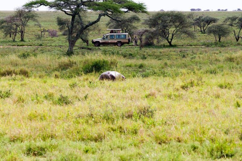 Safari i den Serengeti nationalparken arkivbilder