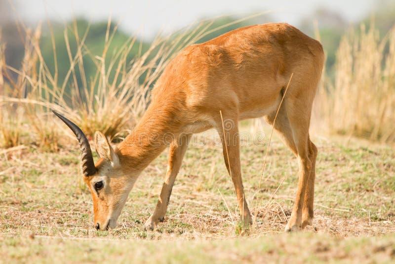 Safari Luangwa del sud fotografie stock