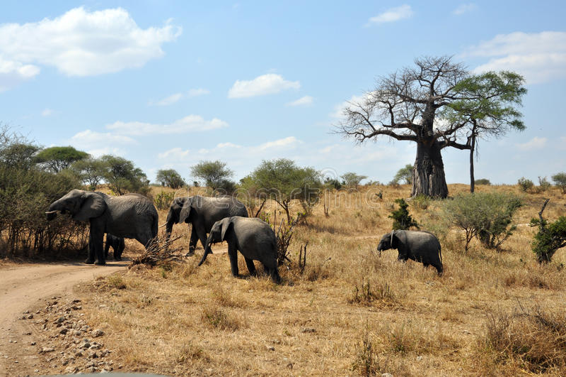 Safari met olifanten en baobab royalty-vrije stock afbeelding