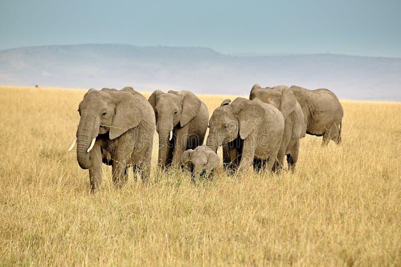 Safari mit Afrikanerelefanten in Kenia stockfotografie