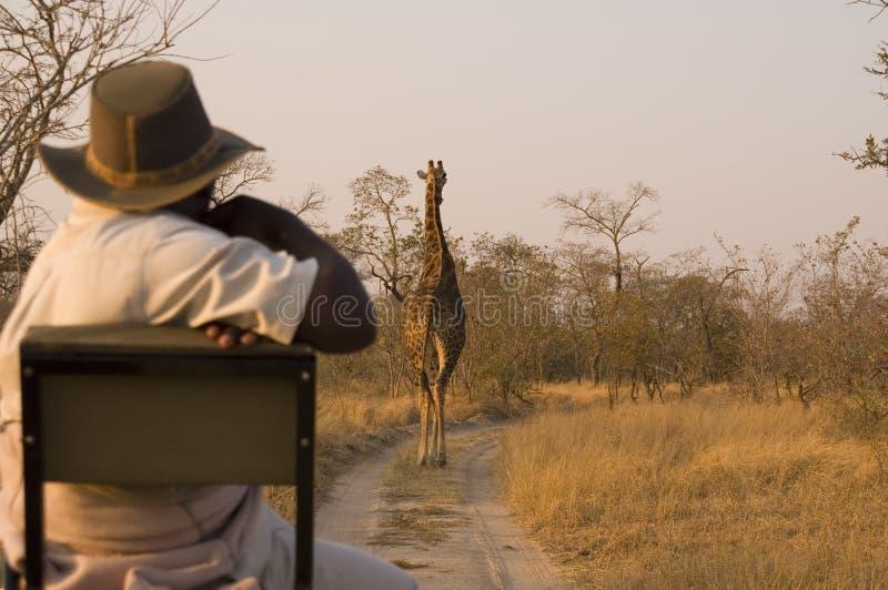 Safari mit Giraffe stockbilder