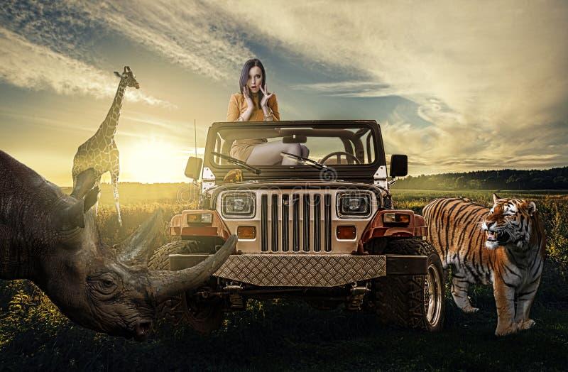 Safari: mujer en el jeep que descubre la naturaleza salvaje imágenes de archivo libres de regalías