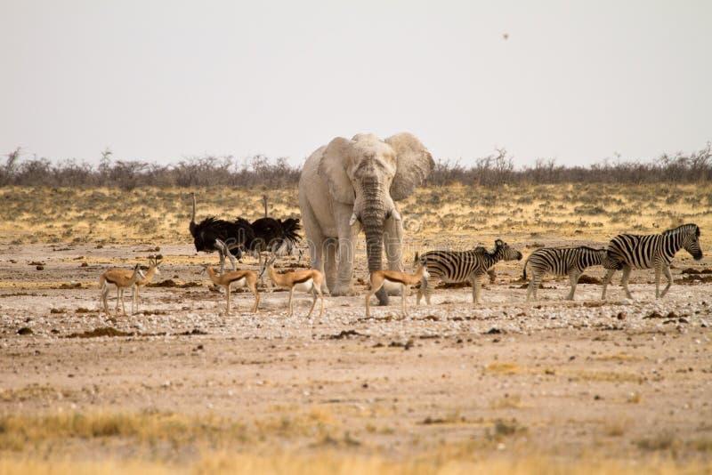 Safari Namíbia fotografia de stock
