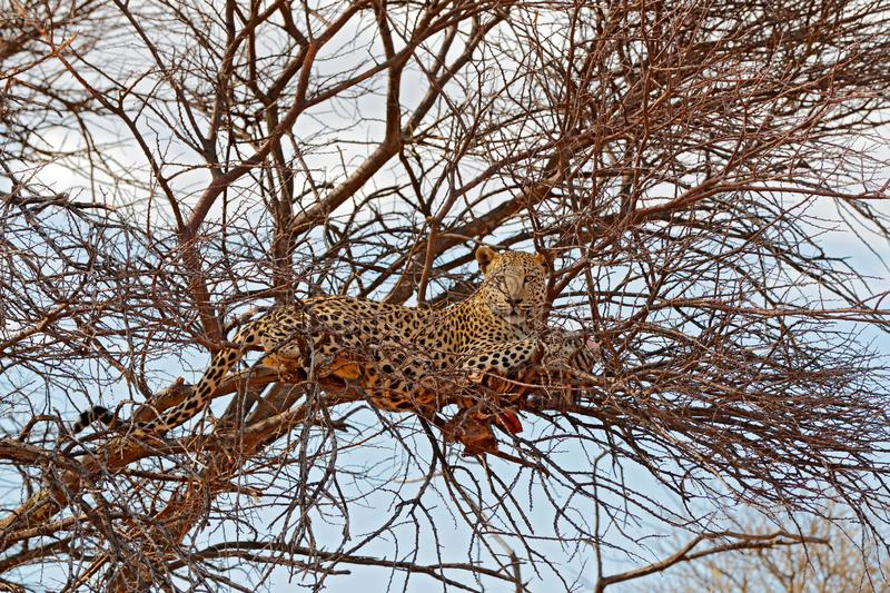 Safari in Namibia. Leopard on the tree with catch, animal behaviour. Big cat feeding young zebra, Etosha National Park in the stock image