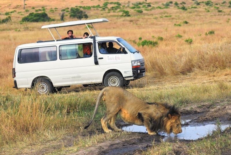Safari no Masai Mara, Kenya Carro e leão turísticos fotografia de stock royalty free