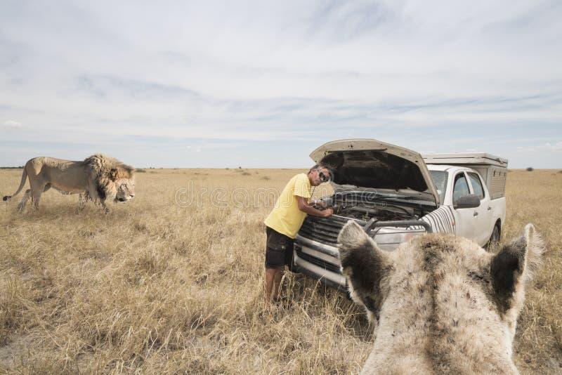 Safari o cena del león para dos imágenes de archivo libres de regalías