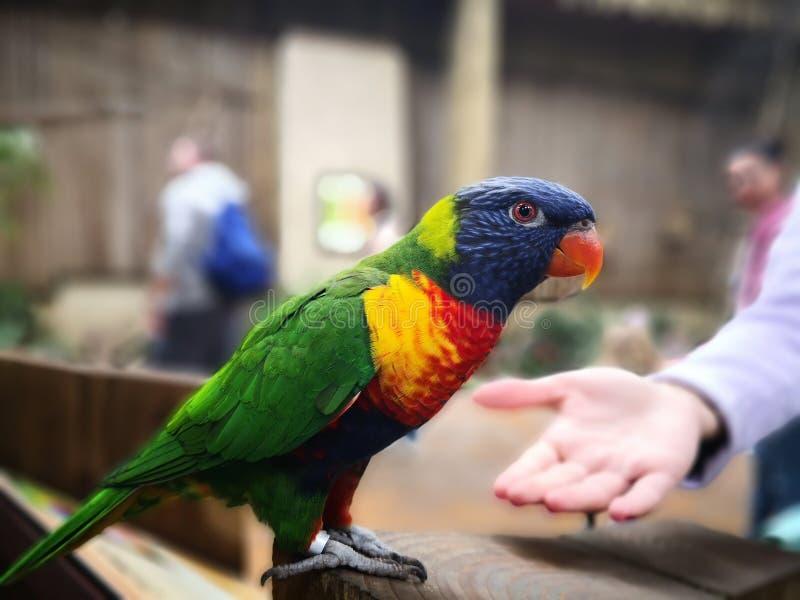 Safari papuga obrazy stock