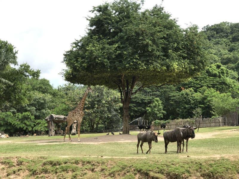 Safari-Park in Pattaya, Khao Kheo stockfoto
