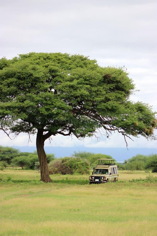 Safari samochód pod ogromnym sawannowym drzewem obrazy royalty free