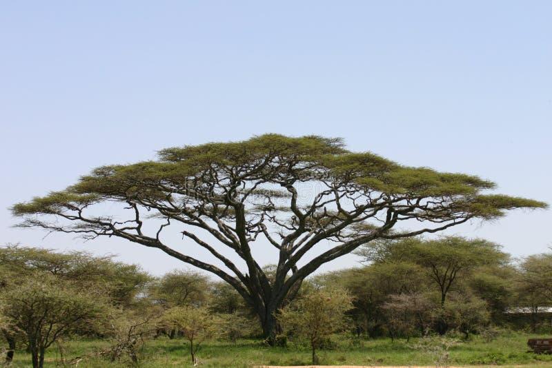 Safari selvagem Tanzânia Ruanda Botswana Kenya dos pictrures africanos do verão do savana fotos de stock