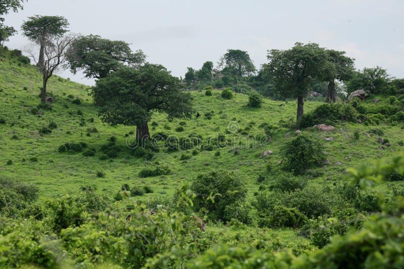 Safari selvaggio Tanzania Ruanda Botswana Kenya di estate africana della savana immagini stock