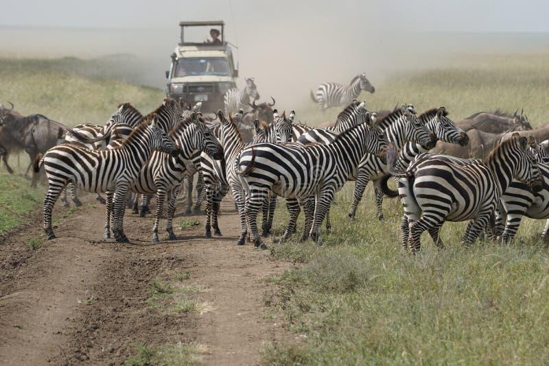 Safari in Serengeti, Tanzania stock foto