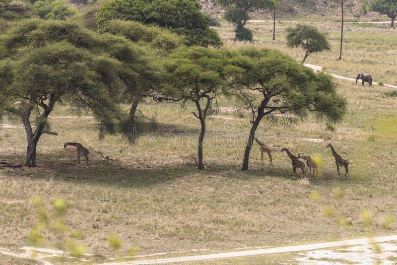 Safari in Tarangire stock photo