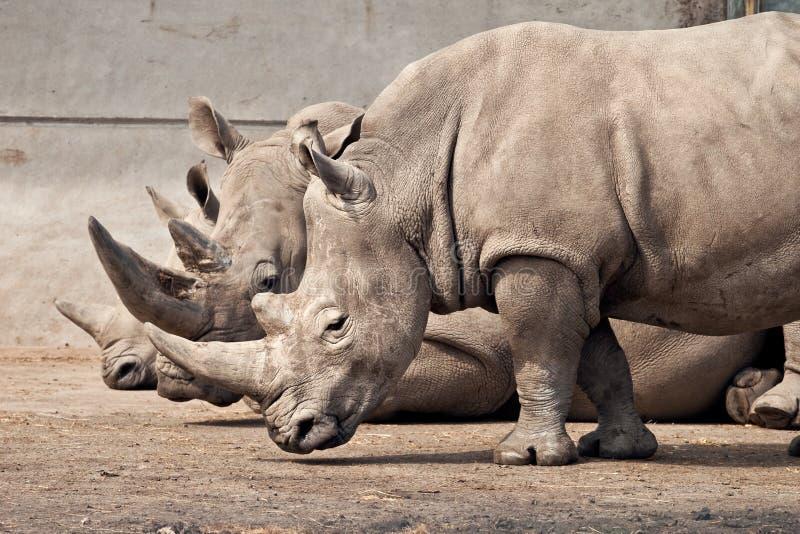 safari tre uk för knowsleyparkrhinos arkivbilder