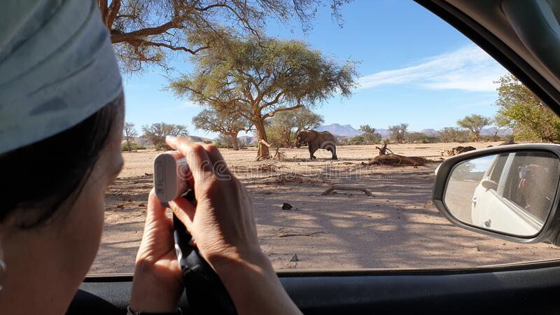 Safari trip. Tourist photographs a desert elephant in a safari trip near Twyfelfontein, Namibia royalty free stock photography