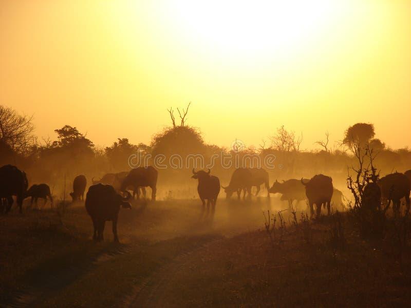 Safari w afrykańskim zmierzchu z bizonami zdjęcia stock