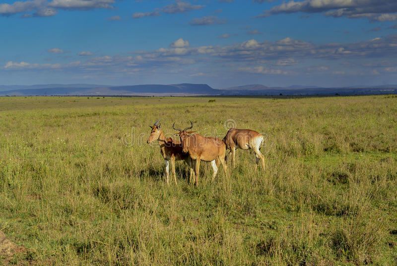 Safari w Nairobia parku narodowym zdjęcie stock