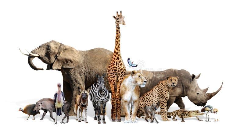 Safari Wildlife Group on White stock photos