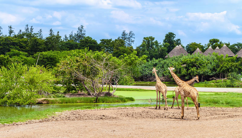 Safari World park. Group of giraffes in a Safari World park in Bangkok, Thailand royalty free stock image