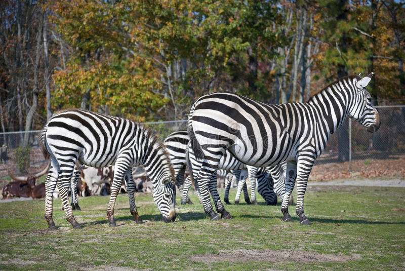 safari zebry zdjęcia stock