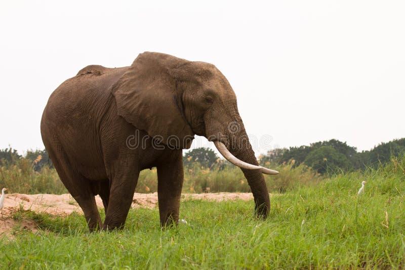 Safari Zimbabwe foto de archivo libre de regalías