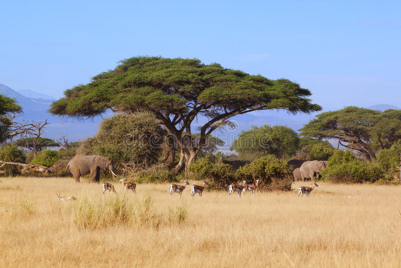 Safariamboseli royaltyfri foto